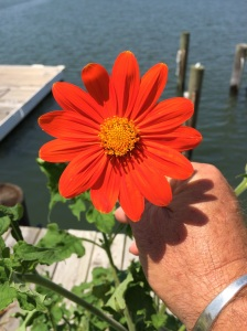 This orange one is the first bloom from the SeedBallz that we planted in early June