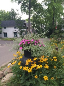 Black-Eyed Susans in profusion and height of bloom.